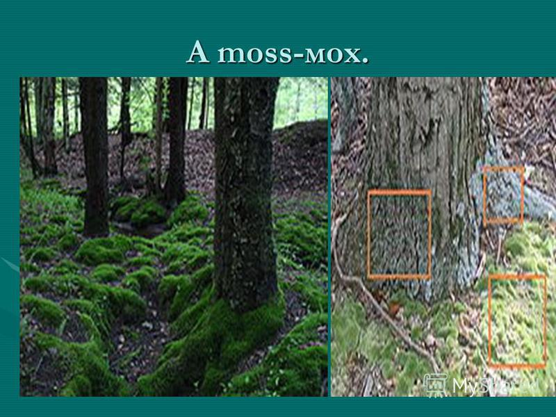 A moss-мох.