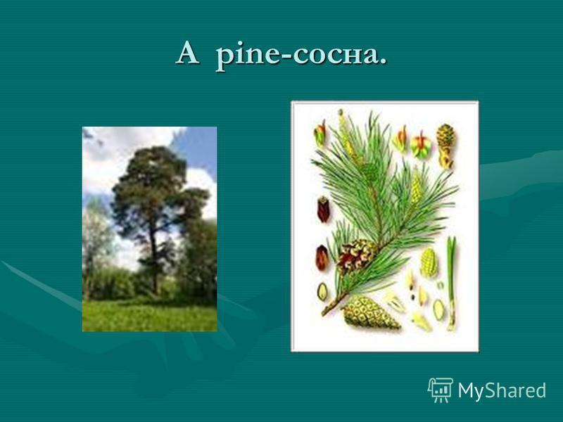A pine-сосна.