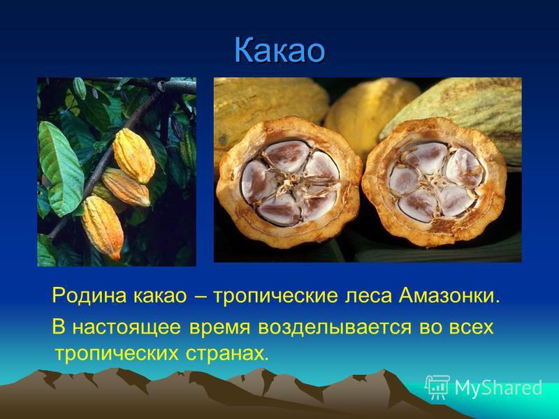 Какао Родина какао – тропические леса Амазонки. В настоящее время возделывается во всех тропических странах.