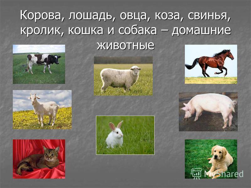 Корова, лошадь, овца, коза, свинья, кролик, кошка и собака – домашние животные