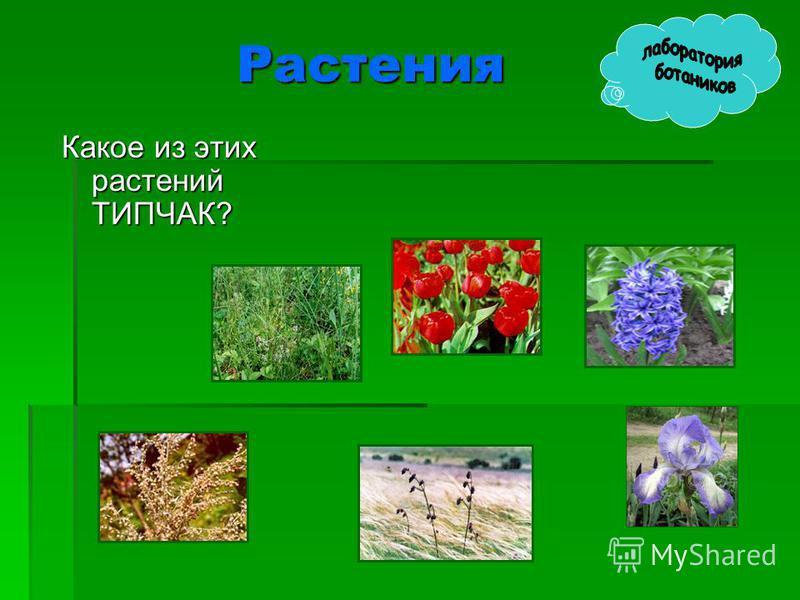 Растения Какое из этих растений ТИПЧАК?