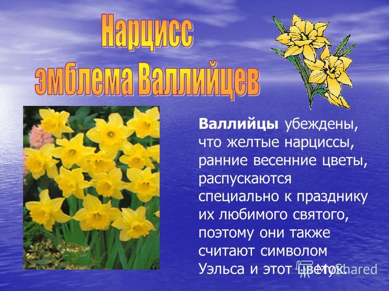 Валлийцы убеждены, что желтые нарциссы, ранние весенние цветы, распускаются специально к празднику их любимого святого, поэтому они также считают символом Уэльса и этот цветок.