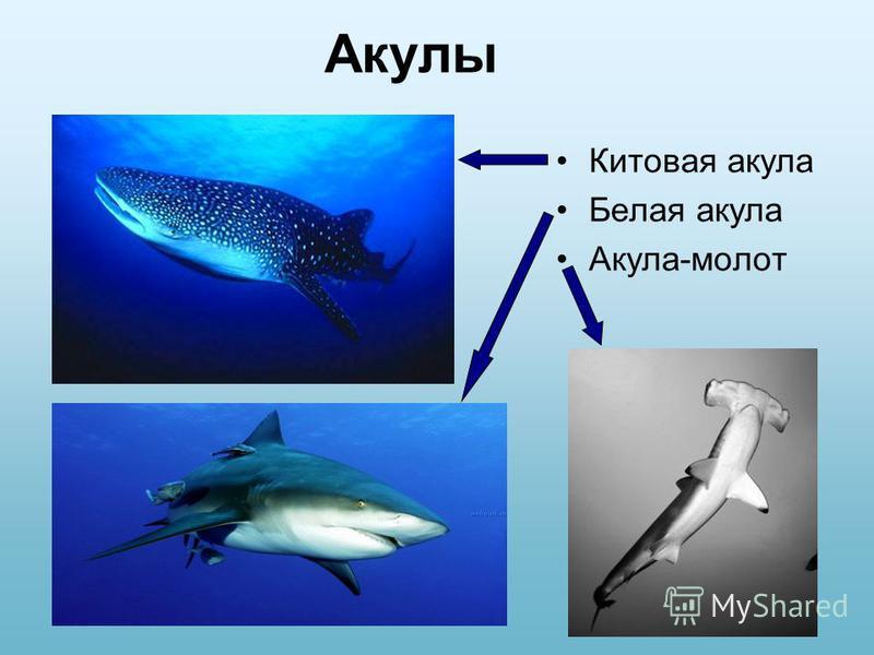 Акулы Китовая акула Белая акула Акула-молот