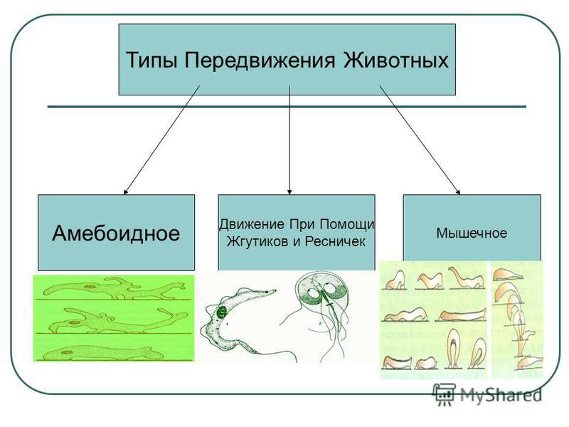 Типы Передвижения Животных Амебоидное Движение При Помощи Жгутиков и Ресничек Мышечное