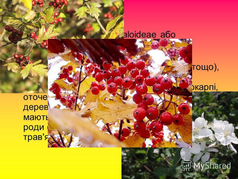 Підродина Яблуневі (Maloideae або Pomoideae):Яблуневі Традиційно включала ті роди (яблуня, кизильник, глід, груша, айва, горобина тощо), чиї плоди складаються з п'яти капсул (називаємих «ядра») в м'ясистому ендокарпі, оточеному тканиною стебла. До ни