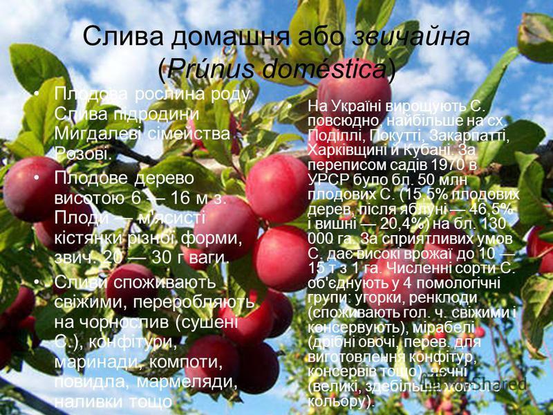 Слива домашня або звичайна (Prúnus doméstica) Плодова рослина роду Слива підродини Мигдалеві сімейства Розові. Плодове дерево висотою 6 16 м з. Плоди м'ясисті кістянки різної форми, звич. 20 30 г ваги. Сливи споживають свіжими, переробляють на чорнос