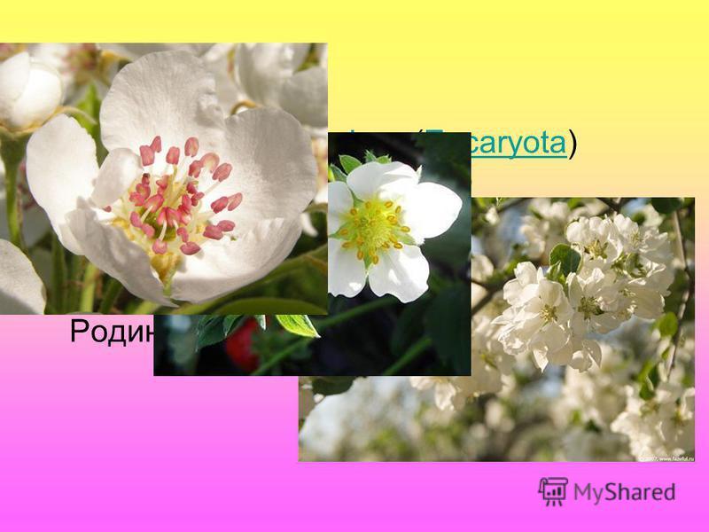 Класифікація: Надцарство: Еукаріоти (Eucaryota) Царство: Рослини (Plantae) Відділ:Покритонасінні (Magnoliophyta) Клас: Дводольні (Magnoliopsida) Порядок: Розоцвіті (Rosales) Родина:Розові (Rosaceae)ЕукаріотиEucaryotaРослиниPlantaeПокритонасінніMagnol