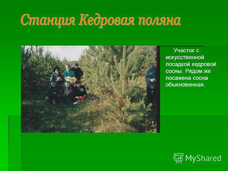 Участок с искусственной посадкой кедровой сосны. Рядом же посажена сосна обыкновенная.