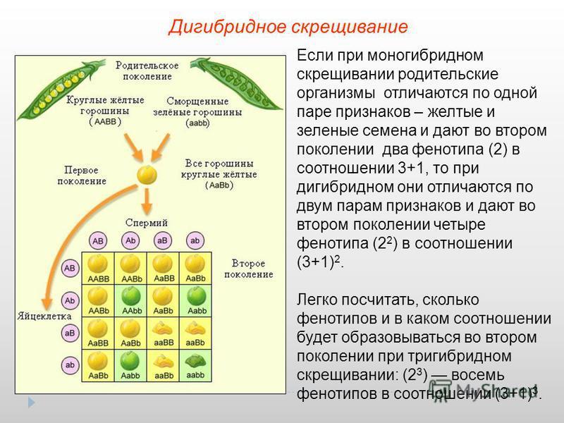 Дигибридное скрещивание Если при моногибридном скрещивании родительские организмы отличаются по одной паре признаков – желтые и зеленые семена и дают во втором поколении два фенотипа (2) в соотношении 3+1, то при дигибридном они отличаются по двум па