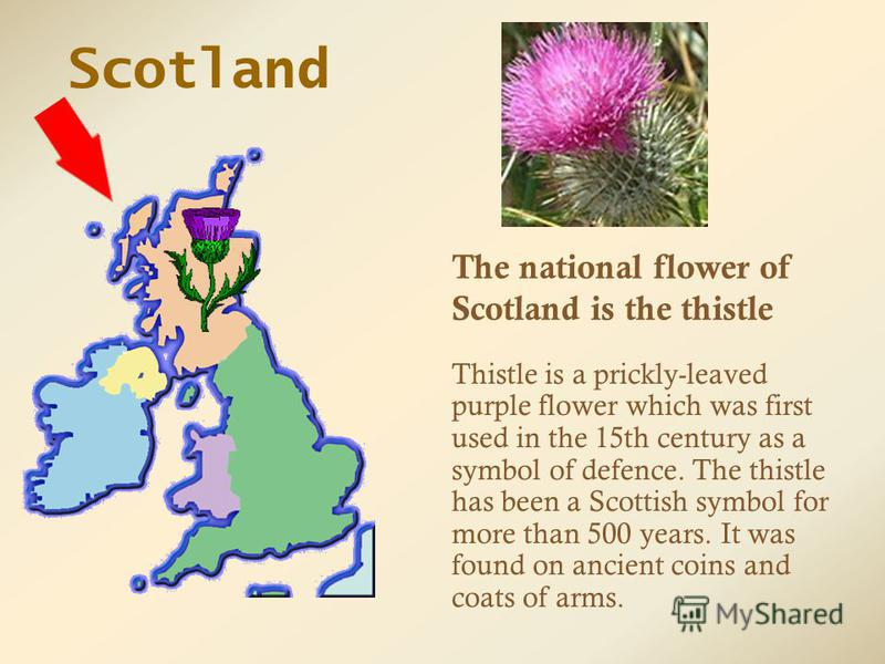 Thistle is a prickly-leaved purple flower which was first used in the 15th century as a symbol of defence. The thistle has been a Scottish symbol for more than 500 years. It was found on ancient coins and coats of arms. Scotland The national flower o