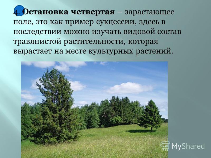 3. Остановка третья – искусственная лесопосадка. Здесь учащимся будут представлены сведения о растениях которые используются в лесопосадках, и ее роли в природе и сельском хозяйстве.