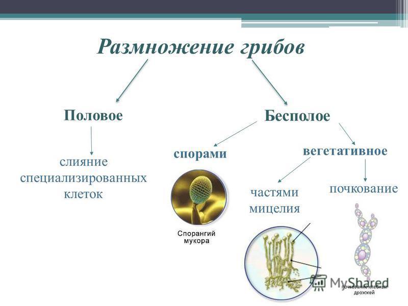 Размножение грибов Половое слияние специализированных клеток спорами вегетативное частями мицелия почкование Бесполое