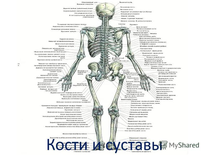 Кости и суставы