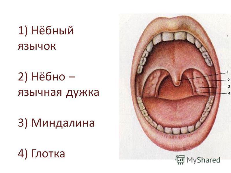 1) Нёбный язычок 2) Нёбно – язычная дужка 3) Миндалина 4) Глотка
