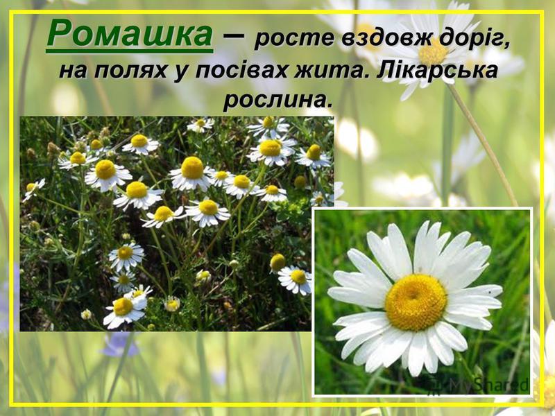 Ромашка – росте вздовж доріг, на полях у посівах жита. Лікарська рослина.