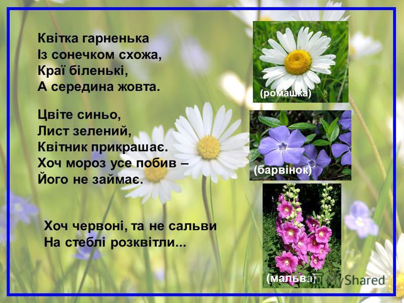 (барвінок) (мальва) Цвіте синьо, Лист зелений, Квітник прикрашає. Хоч мороз усе побив – Його не займає. Хоч червоні, та не сальви На стеблі розквітли... (ромашка) Квітка гарненька Із сонечком схожа, Краї біленькі, А середина жовта.