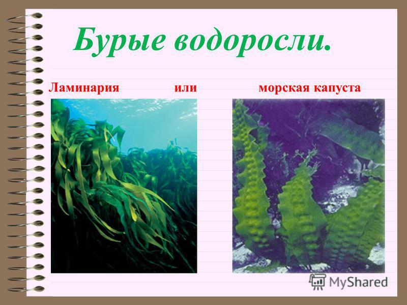 Бурые водоросли. Ламинария или морская капуста