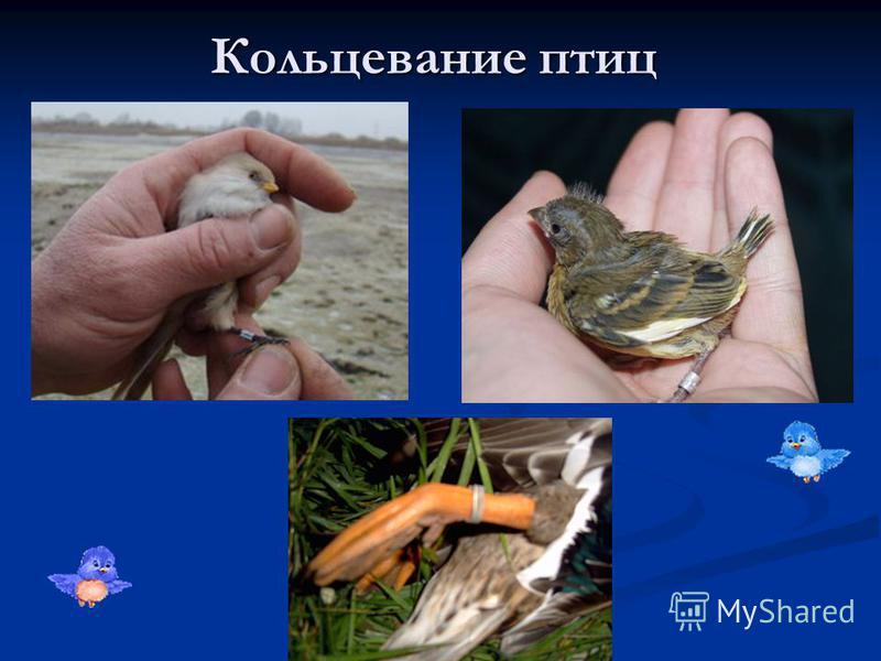 Кольцевание птиц