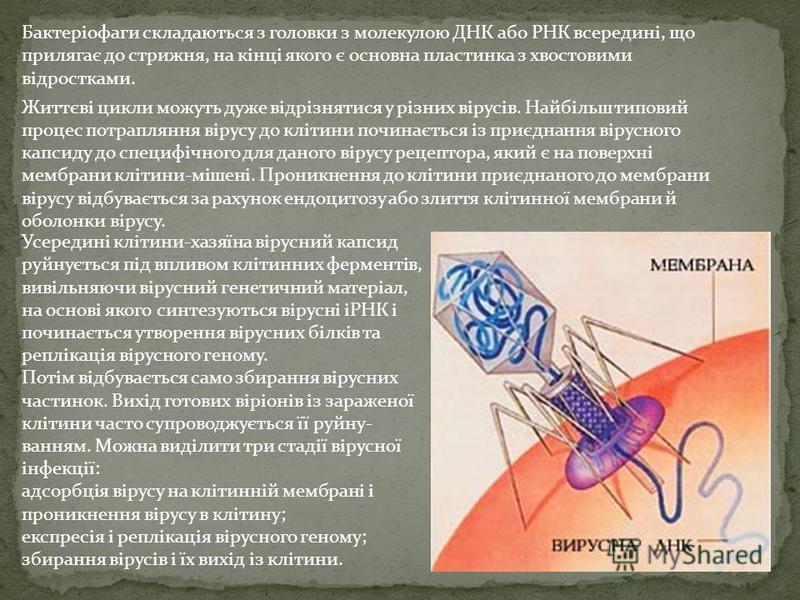 Бактеріофаги складаються з головки з молекулою ДНК або РНК всередині, що прилягає до стрижня, на кінці якого є основна пластинка з хвостовими відростками. Життєві цикли можуть дуже відрізнятися у різних вірусів. Найбільш типовий процес потрапляння в