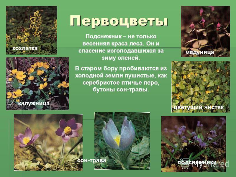 Первоцветы медуница хохлатка подснежники сон-трава цветущий чистяк калужница Подснежник – не только весенняя краса леса. Он и спасение изголодавшихся за зиму оленей. В старом бору пробиваются из холодной земли пушистые, как серебристое птичье перо, б