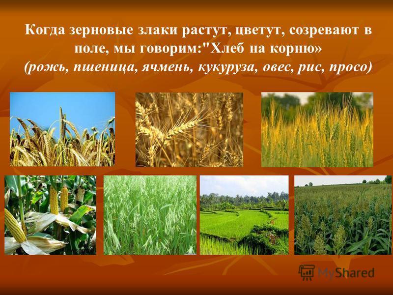 Когда зерновые злаки растут, цветут, созревают в поле, мы говорим:Хлеб на корню» (рожь, пшеница, ячмень, кукуруза, овес, рис, просо)