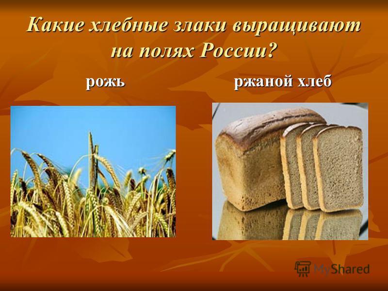 Какие хлебные злаки выращивают на полях России? рожь ржаной хлеб
