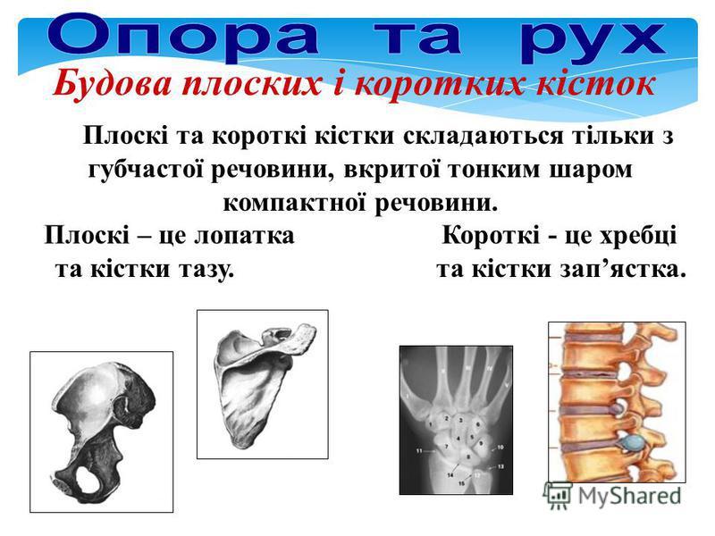 Будова плоских і коротких кісток Плоскі та короткі кістки складаються тільки з губчастої речовини, вкритої тонким шаром компактної речовини. Плоскі – це лопатка Короткі - це хребці та кістки тазу. та кістки запястка.