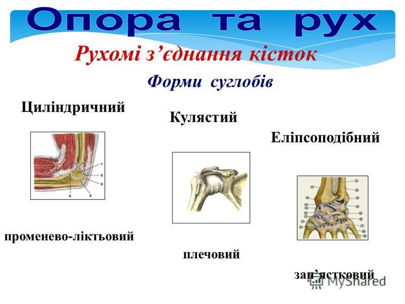 Рухомі зєднання кісток Форми суглобів променево-ліктьовий плечовий запястковий Кулястий Еліпсоподібний Циліндричний
