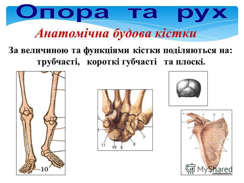 Анатомічна будова кістки За величиною та функціями кістки поділяються на: трубчасті, короткі губчасті та плоскі.