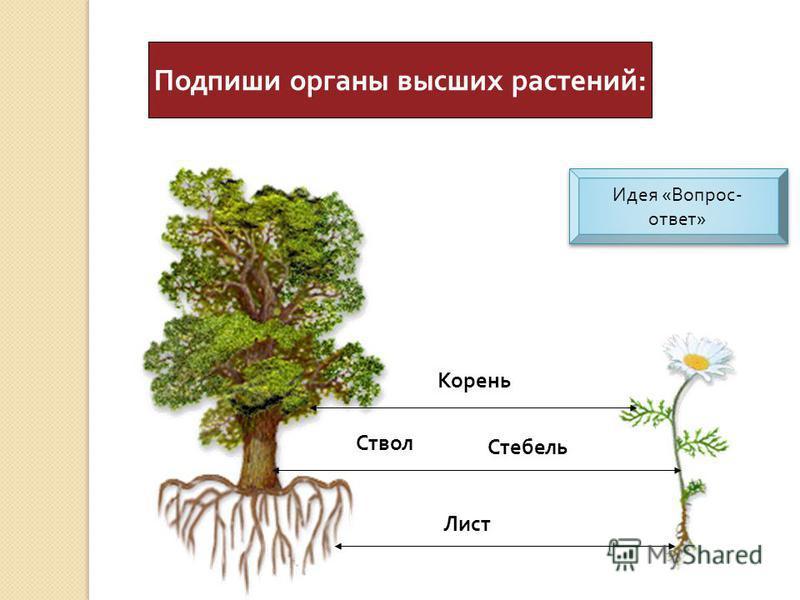 Подпиши органы высших растений : Корень Ствол Лист Стебель Идея « Вопрос - ответ » Идея « Вопрос - ответ »