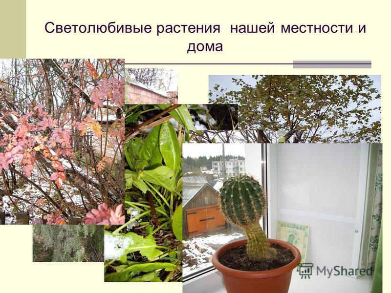Светолюбивые растения нашей местности и дома