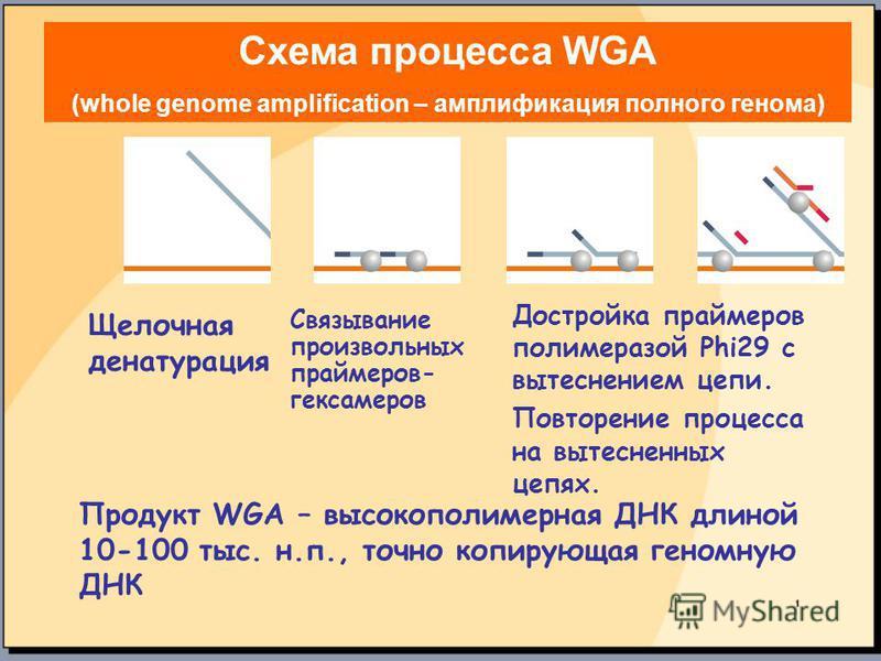 Щелочная денатурация Связывание произвольных праймеров- гексамеров Достройка праймеров полимеразой Phi29 с вытеснением цепи. Повторение процесса на вытесненных цепях. Продукт WGA – высокополимерная ДНК длиной 10-100 тыс. н.п., точно копирующая геномн