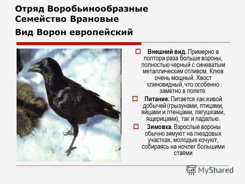 Отряд Воробьинообразные Семейство Врановые Вид Ворон европейский Внешний вид. Примерно в полтора раза больше вороны, полностью черный с синеватым металлическим отливом. Клюв очень мощный. Хвост клиновидный, что особенно заметно в полете. Питание. Пит