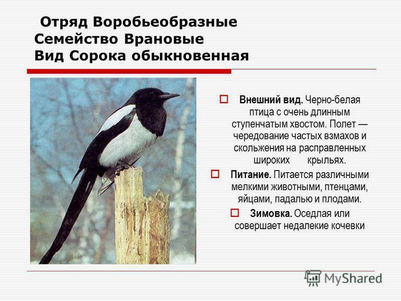 Отряд Воробьеобразные Семейство Врановые Вид Сорока обыкновенная Внешний вид. Черно-белая птица с очень длинным ступенчатым хвостом. Полет чередование частых взмахов и скольжения на расправленных широких крыльях. Питание. Питается различными мелкими