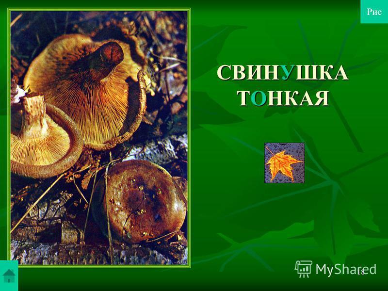 17 МОХОВИКИ В пищу он используется только свежим: его жарят и варят. А вот моховик желто-бурый еще и маринуют, и сушат. Для маринования лучше брать некрупные грибы. Маринад получается темным, тягучим, но вкусовые качества грибов остаются высокими. В