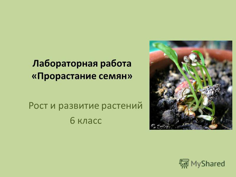 Лабораторная работа «Прорастание семян» Рост и развитие растений 6 класс