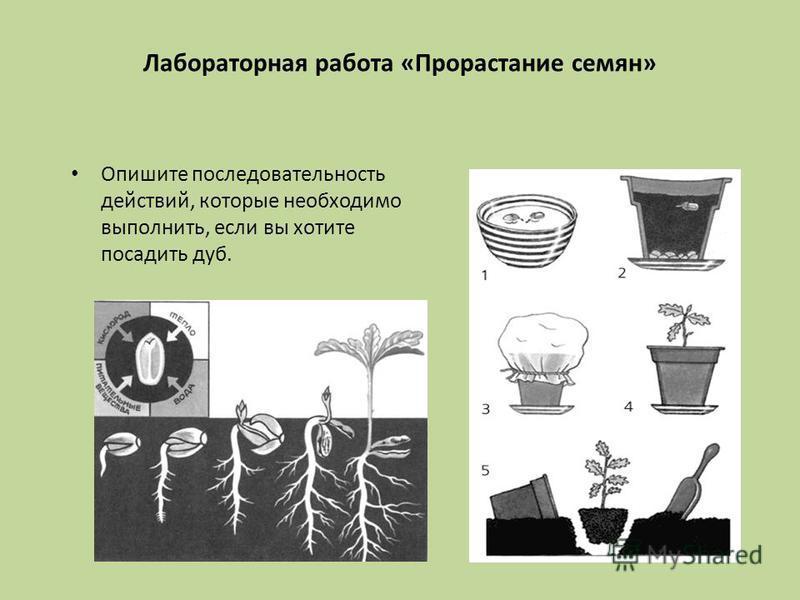 Опишите последовательность действий, которые необходимо выполнить, если вы хотите посадить дуб. Лабораторная работа «Прорастание семян»