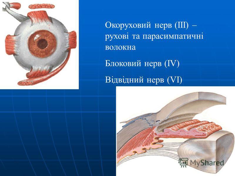 Окоруховий нерв (ІІІ) – рухові та парасимпатичні волокна Блоковий нерв (IV) Відвідний нерв (VI)