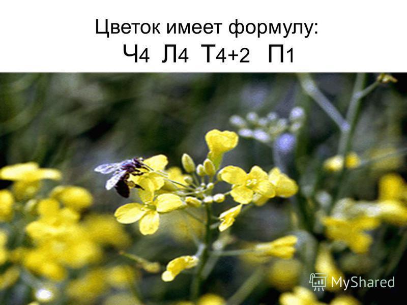 Цветок имеет формулу: Ч 4 Л 4 Т 4+2 П 1