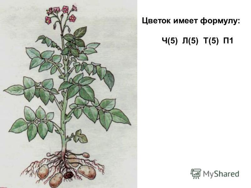 Цветок имеет формулу: Ч(5) Л(5) Т(5) П1