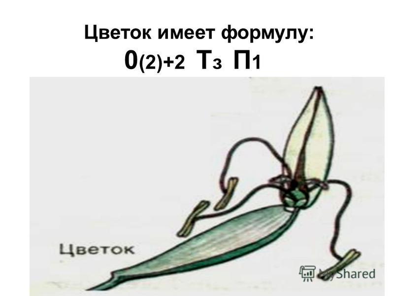 Цветок имеет формулу: 0 (2)+2 Т з П 1