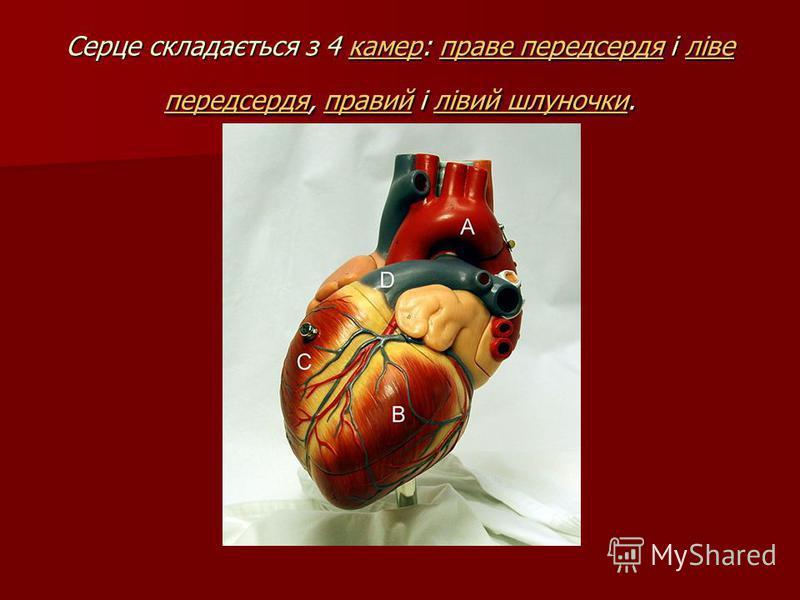 Серце складається з 4 камер: праве передсердя і ліве передсердя, правий і лівий шлуночки. камерправе передсердяліве передсердяправийлівий шлуночкикамерправе передсердяліве передсердяправийлівий шлуночки