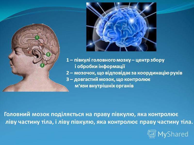 Головний мозок поділяється на праву півкулю, яка контролює ліву частину тіла, і ліву півкулю, яка контролює праву частину тіла. 1 – півкулі головного мозку – центр збору і обробки інформації 2 – мозочок, що відповідає за координацію рухів 3 – довгаст