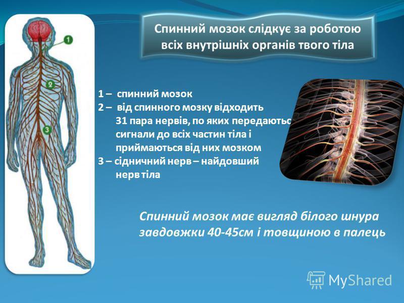 1 – спинний мозок 2 – від спинного мозку відходить 31 пара нервів, по яких передаються сигнали до всіх частин тіла і приймаються від них мозком 3 – сідничний нерв – найдовший нерв тіла Спинний мозок має вигляд білого шнура завдовжки 40-45см і товщино