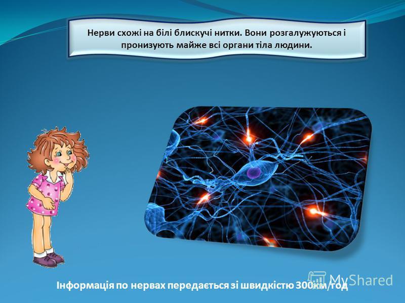 Нерви схожі на білі блискучі нитки. Вони розгалужуються і пронизують майже всі органи тіла людини. Інформація по нервах передається зі швидкістю 300км / год