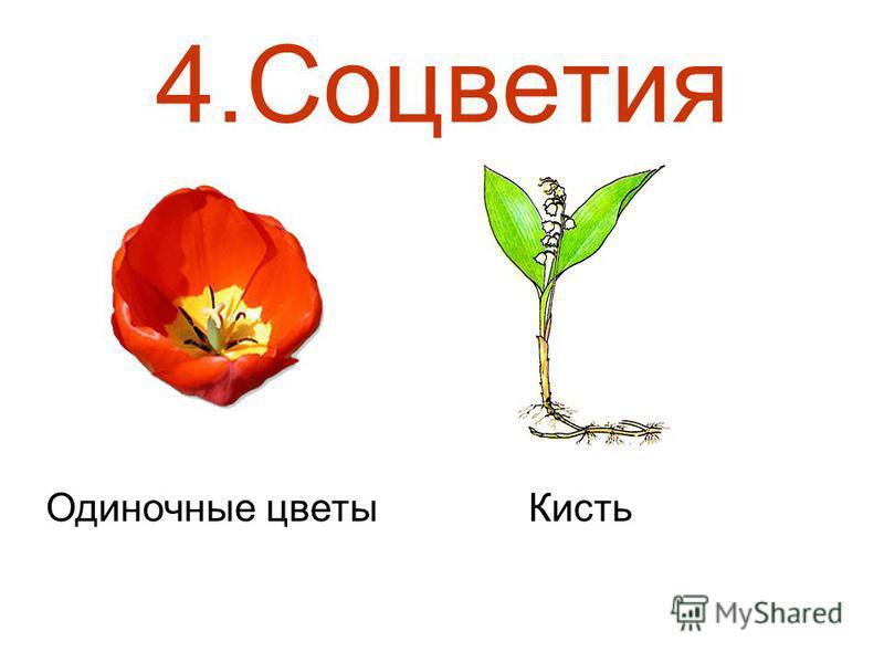 4. Соцветия Одиночные цветы Кисть