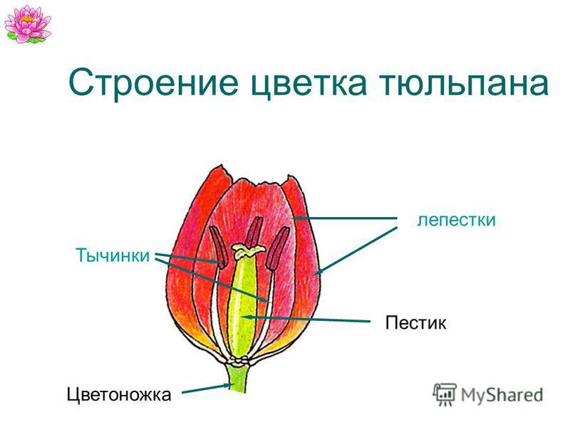 Строение цветка тюльпана лепестки Тычинки Цветоножка Пестик