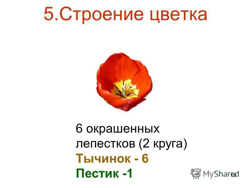 14 5. Строение цветка 6 окрашенных лепестков (2 круга) Тычинок - 6 Пестик -1