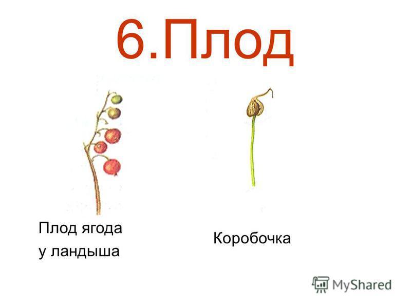 6. Плод Плод ягода у ландыша Коробочка