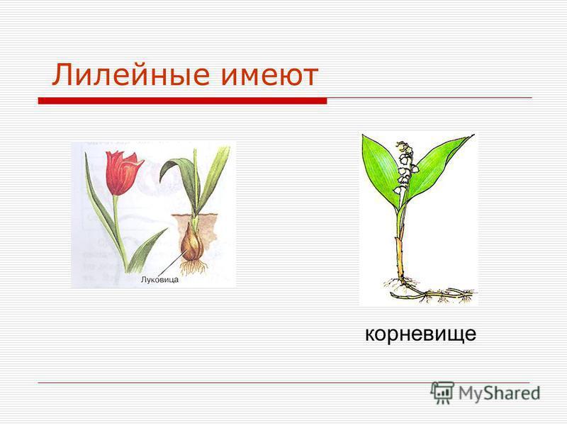 Лилейные имеют корневище